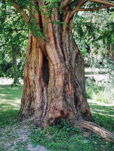 Urweltmammutbaum im Schlosspark in Bad Homburg