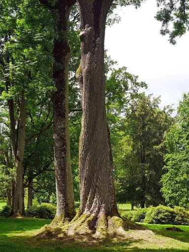 Esche im Schlosspark Weißenbach in Weißenbach
