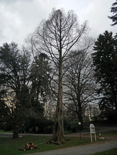 Urweltmammutbaum beim Lindenhofpark bei Schachen