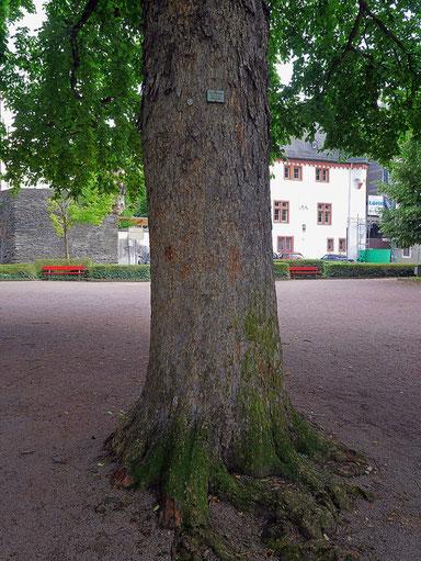 Baumhasel in den Rheinalleen in Boppard