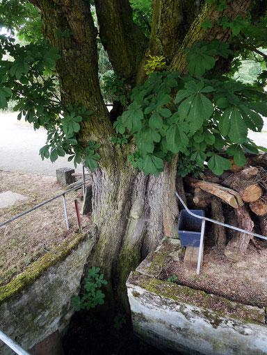 Kastanie bei der Christians-Mühle bei Sulzbach