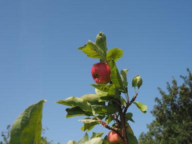 habe mal zu Sicherheit einen Apfelbaum gepflanzt
