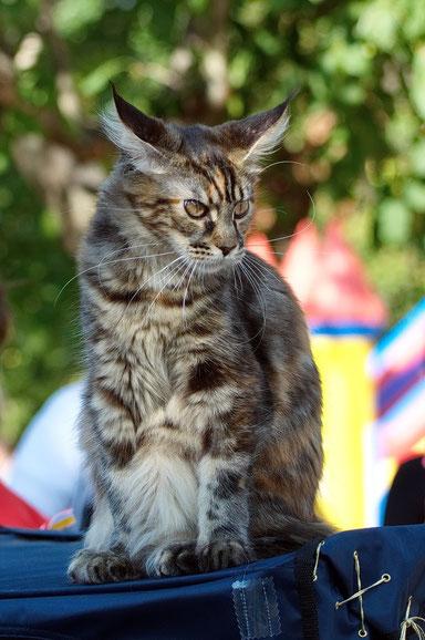 мейн  кун,  кот  мейн  кун, кошка мейн кун, котята мейн кун,   мейн кун, котята мейн кун, купить мейн куна, рыжий котенок мейн кун,   рыжая кошечка мейн кун, кошки, коты, котята, питомник одесса,   фото мейн куна, maine coon, maine coon cattery, kitten m