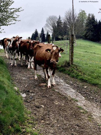 Der Hof ist auch Heimat von 18 Kühen, welche in den wärmeren Monaten täglich auf einer der angrenzenden Weiden grasen.