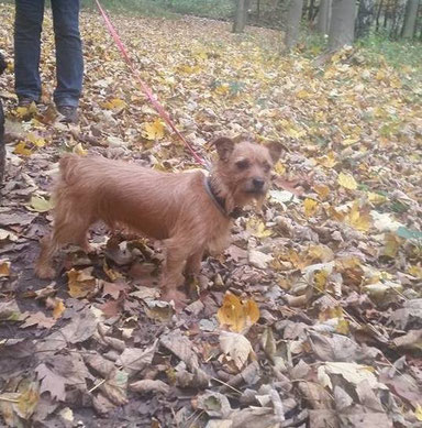 Lucky, Border Terrier Mix aus Spanien