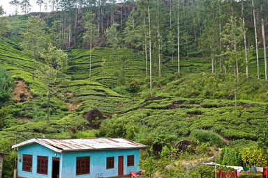 9 Days in Sri lanka - Tea plantations in Ella