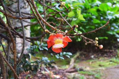 Our trip to the Seychelles islands - Nice flowers at the Botanical garden