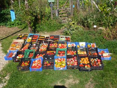 Collection de tomates anciennes à Curgy