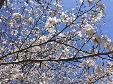 本日歯医者さんへ行く途中のお気に入りの桜ポイント♪ 週末が見どころですかね~