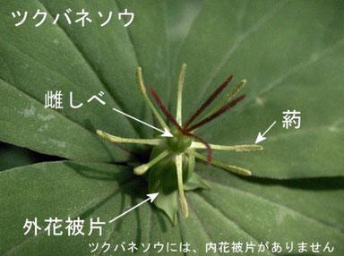 ツクバネソウの花の構造(雌しべ、外花被片、葯)