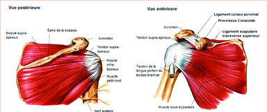 Anatomie de la coiffe des rotateurs de l'épaule (d'après Frank H. Netter©)
