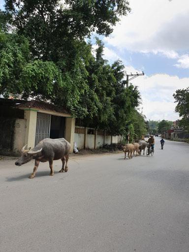 Wasserbüffel als Verkehrsteilnehmer in Tam Coc