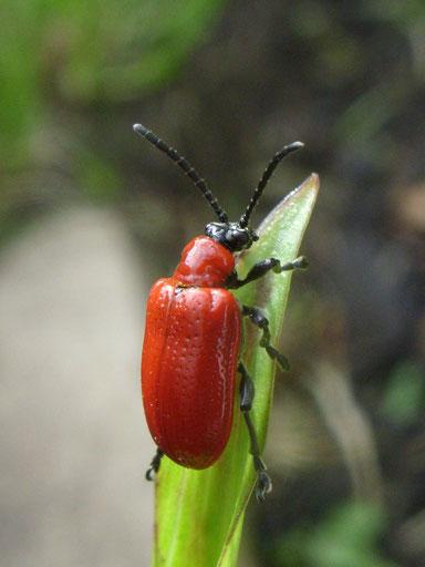 Lily beetle Lilioceris lilii