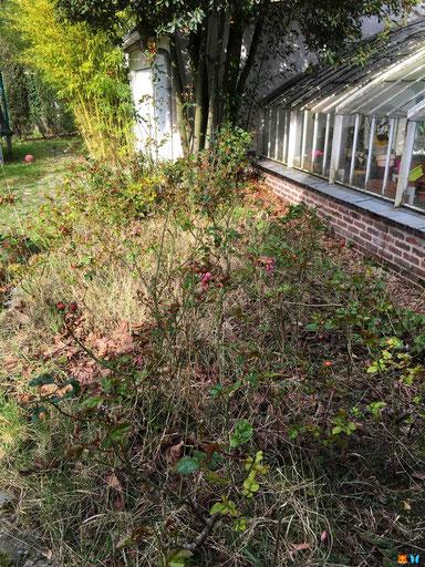 Entretien du jardin au printemps - Desherber : un massif de rosiers et géranium vivaces bien encombré de sauvageonnes