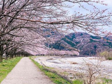 ꧁ ©Akira Deng, Cerisiers en fleurs à Kanuma, Japon ꧂
