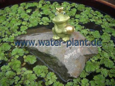 Pflanzen wie z.B. Schwimmfarn helfen gegen Algen