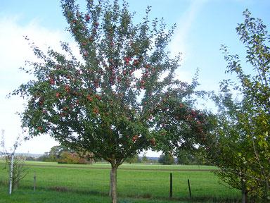 Regionale Obstsorten an Feldwegen gepflegt vom Ilhorner Streuobstverein.