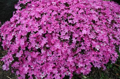 Violettes Blütenpolster im Staudengarten