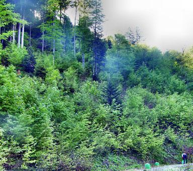 Bärlauchernte im Morgennebel in Steilhängen auf über 1000 m Höhe