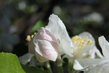 可愛らしい姫リンゴのつぼみ
