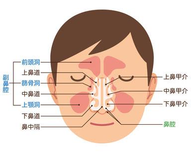 鼻腔・副鼻腔の図