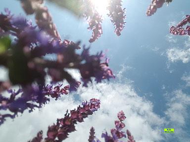 Nahaufnahme der violetten Blütenrispen des Steppensalbei / Hainsalbei / Ziersalbei / Salvia nemorosa gegen den Himmel und gegen den Sonnenschein fotografiert von K.D. Michaelis