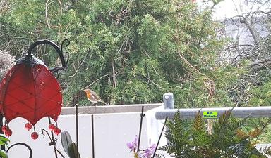 Bild eines Rotkehlchens an der Futterstelle auf dem Balkon von K.D. Michaelis