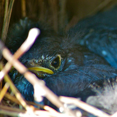 A young eastern bluebird, still in the nest, almost ready to fly.