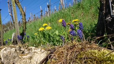Frühling Flora Rebberg, Weidmann Wein, Regensberg