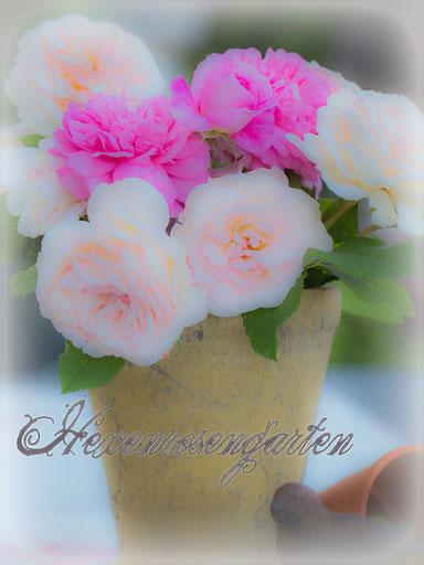 Rosen Hexenrosengarten romantische Blüten