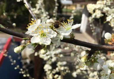 Honigbiene an blühendem Schwarzdorn, Foto Regula Zurgilgen