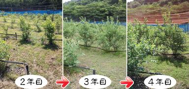 植え付け4年目までは、全摘花をして樹の育成に専念。