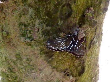 樹液に飛来したダリルサマダラジャノメ。