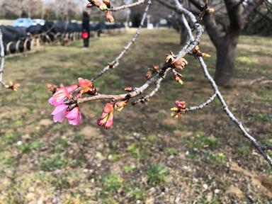 かぶらぎ整骨院・整体院ブログ 佐倉城址公園の河津桜写真