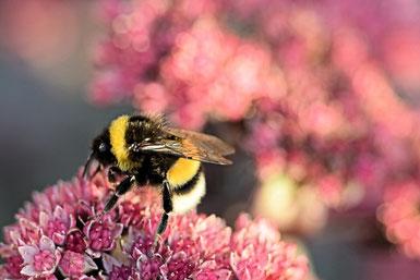 Die Hummel zählt auch zu den Wildbienen. Sie ist einer der Wildbienenarten die auch Staaten bilden, ähnlich wie die Honigbienen. Jedoch stellen sie keinen Honig her.