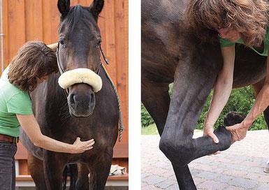 Bild 1: Osteopathische Behandlung Pferd Sternum/ Brustbein  Bild 2: Testung Fesselgelenk Pferd