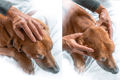 Craniosacrale Therapie Hund