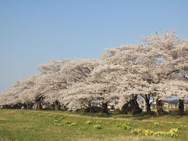 北上川の河原側から。スイセンと桜もいい感じです。
