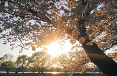 北上川の川面に反射する夕陽と桜の花々からのこぼれ陽が眩しかった~