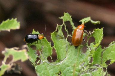 左がウリハムシモドキの成虫(右はウリハムシの成虫)