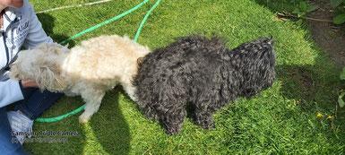 Das Bild stellt eine Hundeverpaarung da