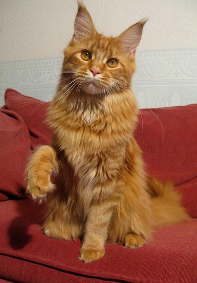 мейн  кун, фото мейн куна, кот  мейн  кун, кошка мейн кун, котята мейн кун, питомник,  купить  мейн  куна,  фото мейн куна, рыжий мейн кун, рыжая кошка мейн  кун, maine coon, maine coon cattery, kitten maine coon