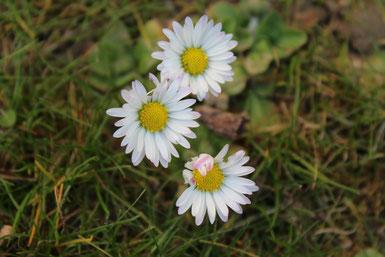 Bild: Achtsamkeit, Gänseblümchen, Wahrnehmung, Frühling, Inspiration, sensibel