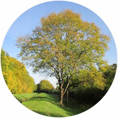 """Die Weltesche """"Yggdrasil"""", Esche, bekannt als Baum des Lebens, nordische Mythologie"""
