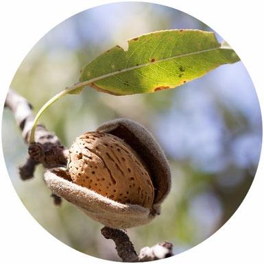 Baumhomöopathie, Mandelbaum, Mandel, Prunus dulcis, Arzneimittelbild, Homöopathie, Seele baumelt, holistische Gesundheit, Informationsmedizin