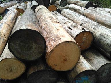 ベイヒバの原木
