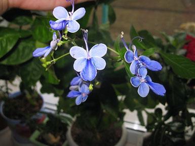 А вот и цветение. Клеродендрум Угандский. Бабочки слегка пахнут карамелью. Цветение с ранней весны до начала зимы.