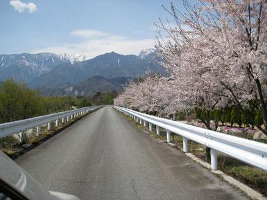 大武川左岸の桜道
