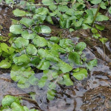 Bild von frischer Brunnenkresse in sauberem Wasser.