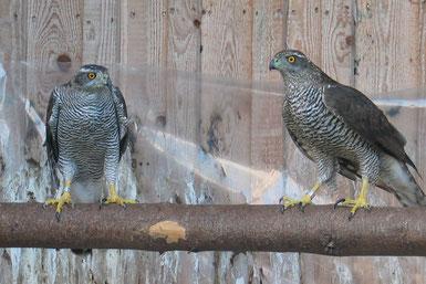 Zwei Habichte auf einem Baumstamm in der Vogelstation Regenstauf